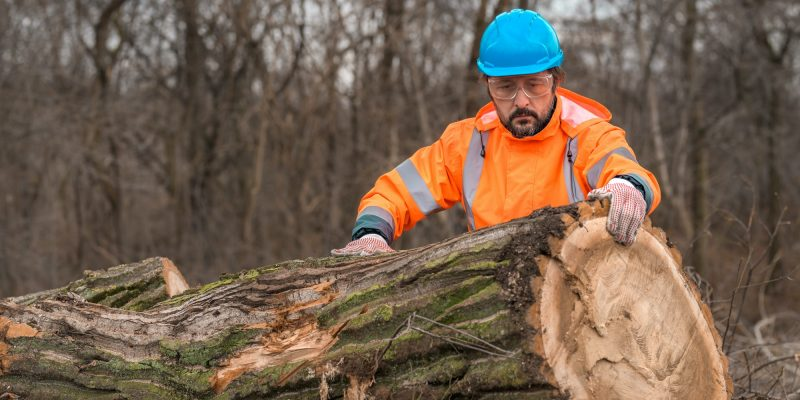 Summerville - Forestry technician analyzing tree trunk after cutting